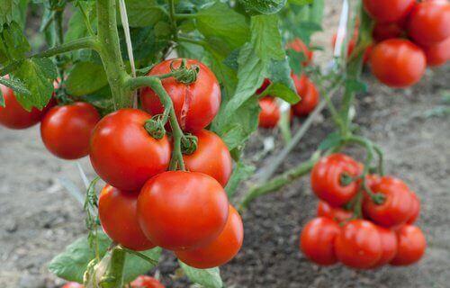 tomaten-bij-koningplant