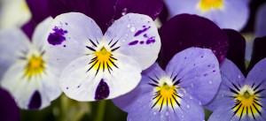 viooltjes koningplant